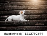 Jack Russell Terrier Lies On A...