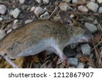 dead country mouse on gravel... | Shutterstock . vector #1212867907