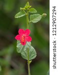 small red flower of hibiscus... | Shutterstock . vector #1212907294