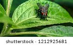 Small photo of Detail Closeup of common Housefly, scientifically known as Musca Domestica sitting on fresh green leaf of great texture and eating germs with its proboscis. Visible leaf trichomes as defense mechanism
