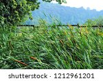 cattail plant in a pond  typha .... | Shutterstock . vector #1212961201