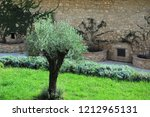 small olive tree in a meadow on ... | Shutterstock . vector #1212965131