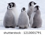 Five Emperor Penguin chicks, grouped together looking in different directions. Snow Hill Emperor Penguin Colony, Antarctica,October 2018.