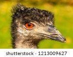 Portrait Of An Emu Dromaius...