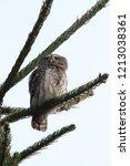 eurasian pygmy owl swabian jura   Shutterstock . vector #1213038361