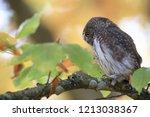 eurasian pygmy owl swabian jura   Shutterstock . vector #1213038367