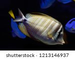 red sea sailfin tang or... | Shutterstock . vector #1213146937