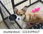 Stock photo  month old welsh corgi puppy in a crate during a crate training 1213199617