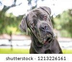 a purebred cane corso mastiff...   Shutterstock . vector #1213226161
