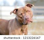 a red pit bull terrier mixed...   Shutterstock . vector #1213226167
