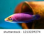 mystery wrasse or white barred... | Shutterstock . vector #1213239274