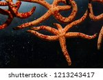 multicoloured seastar   linckia ... | Shutterstock . vector #1213243417
