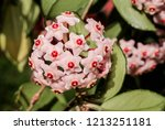 wax plant  hoya carnosa  in...   Shutterstock . vector #1213251181
