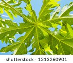 green papaya leaves are... | Shutterstock . vector #1213260901