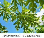 green papaya leaves are... | Shutterstock . vector #1213263781