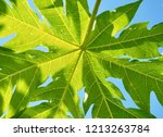 green papaya leaves are... | Shutterstock . vector #1213263784