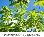 green papaya leaves are... | Shutterstock . vector #1213263787
