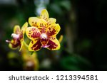 yellow and red hybrid orchid ... | Shutterstock . vector #1213394581