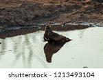 a yellow billed kite sitting in ... | Shutterstock . vector #1213493104