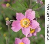 flowering autumn anemone ...   Shutterstock . vector #1213541227