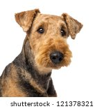 Close Up Of An Airedale...