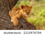 a cute and funny wild lion cub  ... | Shutterstock . vector #1213976704