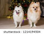two dogs of breed a pomeranian... | Shutterstock . vector #1214194504