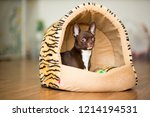 a chihuahua dog of brown color... | Shutterstock . vector #1214194531