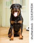 rottweiler breed dog sitting on ... | Shutterstock . vector #1214194534