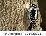 Male Downy Woodpecker On A Tree.