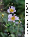 anemone hupehensis japonica...   Shutterstock . vector #1214224024
