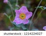 anemone hupehensis japonica...   Shutterstock . vector #1214224027
