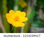 close up  yellow cosmos in the ... | Shutterstock . vector #1214239417