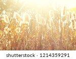 dry reeds grass at sunset....   Shutterstock . vector #1214359291