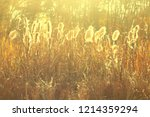 dry reeds grass at sunset....   Shutterstock . vector #1214359294