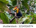 rhinoceros hornbill in a tree...   Shutterstock . vector #1214526574