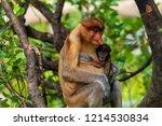 wild mother and baby proboscis...   Shutterstock . vector #1214530834