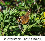Common Buckeye butterfly along the nature trail!