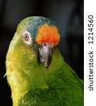 Small photo of Portrait of a Peach Fronted Conure, Aratinga aurea, parrot. Also known as the Golden-Crowned Conure. The feathers on the neck and back are green with an orange and blue face. Beak is black. Copy space