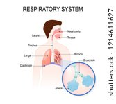 respiratory system  bronchiole...   Shutterstock . vector #1214611627