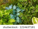 green hosta leaves with rain...   Shutterstock . vector #1214637181