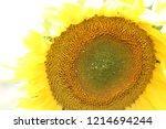 yellow sunflower against blue... | Shutterstock . vector #1214694244