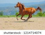red purebred arabian stallion... | Shutterstock . vector #1214714074