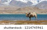 camel posing at lake karakul ... | Shutterstock . vector #1214745961