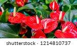 Red Anthurium Flowes  ...