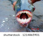 Amazon black piranha with...