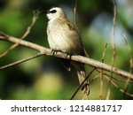 the bulbuls are a family ... | Shutterstock . vector #1214881717