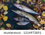 river pike perch  pike  perch ... | Shutterstock . vector #1214972851