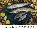 river pike perch  pike  perch ... | Shutterstock . vector #1214972854