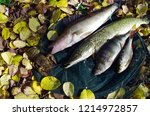 river pike perch  pike  perch ... | Shutterstock . vector #1214972857